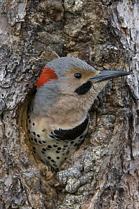 Northern Flicker (Colaptes auratus) in nest cavity, Alaska  -  Michael Quinton