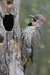 Northern Flicker (Colaptes auratus) at nest cavity, Alaska - Michael Quinton
