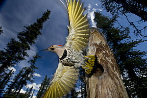 Northern Flicker (Colaptes auratus) leaving nest cavity in forest, Alaska - Michael Quinton