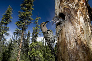 Northern Flicker (Colaptes auratus) at nest cavity with begging chicks, Alaska  -  Michael Quinton