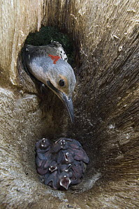 Northern Flicker (Colaptes auratus) entering nest cavity with chicks, Alaska - Michael Quinton