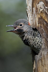 Northern Flicker (Colaptes auratus) chick in nest cavity ready to fledge, Alaska  -  Michael Quinton
