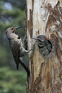 Northern Flicker (Colaptes auratus) parent at nest cavity with chick, Alaska - Michael Quinton