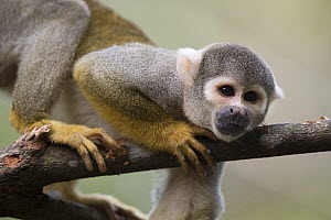 Bare-eared Squirrel Monkey (Saimiri ustus) in tree, Peru  -  Cyril Ruoso