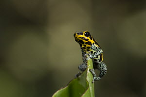 Mimic Poison Frog (Dendrobates imitator), Amazon, Peru  -  Cyril Ruoso
