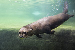 Giant River Otter (Pteronura brasiliensis) swimming, native to South America  -  Konrad Wothe