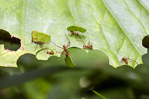 Leafcutter Ant (Atta cephalotes) group cutting leaf, Tobago, West Indies, Caribbean  -  Konrad Wothe