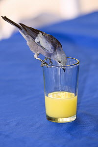 Blue-gray Tanager (Thraupis episcopus) drinking from glass, Tobago, West Indies, Caribbean  -  Konrad Wothe