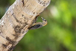 Red-crowned Woodpecker (Melanerpes rubricapillus) male at nest cavity, Tobago, West Indies, Caribbean  -  Konrad Wothe