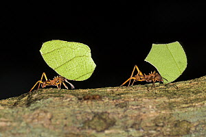 Leafcutter Ant (Atta cephalotes) pair carrying leaves, Panguana Nature Reserve, Peru - Konrad Wothe