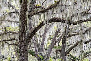 Southern Live Oak (Quercus virginiana) trees with Spanish Moss (Tillandsia usneoides), Florida  -  Scott Leslie