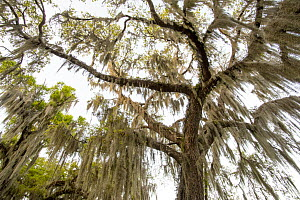 Southern Live Oak (Quercus virginiana) with Spanish Moss (Tillandsia usneoides), Florida  -  Scott Leslie