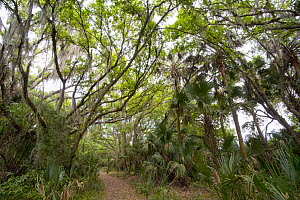 Trail through forest, Kissimmee Prairie Preserve State Park, Florida  -  Scott Leslie