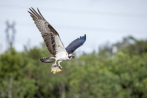 Osprey (Pandion haliaetus) carrying Marble Cichlid (Astronotus ocellatus) prey, Viera Wetlands, Florida - Scott Leslie
