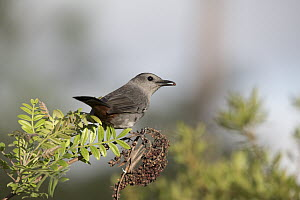 Gray Catbird (Dumetella carolinensis), Everglades National Park, Florida - Scott Leslie