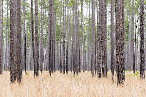Longleaf Pine (Pinus palustris) forest, Okefenokee National Wildlife Refuge, Georgia - Scott Leslie