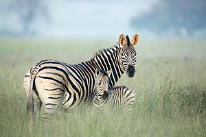Burchell's Zebra (Equus burchellii) mother and foal in tall grass, Rietvlei Nature Reserve, South Africa  -  Richard Du Toit
