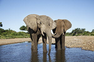 African Elephant (Loxodonta africana) bulls drinking, Shingwedzi River, Kruger National Park, South Africa - Richard Du Toit