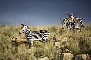 Mountain Zebra (Equus zebra) trio in savanna, Mountain Zebra National Park, South Africa  -  Richard Du Toit