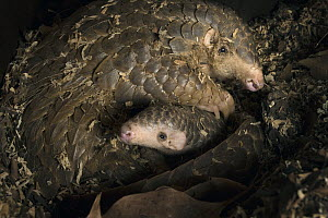Chinese Pangolin (Manis pentadactyla) mother and two month old baby, Taipei Zoo, Taipei, Taiwan, digitally removed leaf debris in foreground  -  Suzi Eszterhas