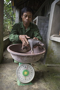 Malayan Pangolin (Manis javanica) three month old baby being weighed by caretaker, Carnivore and Pangolin Conservation Program, Cuc Phuong National Park, Vietnam - Suzi Eszterhas