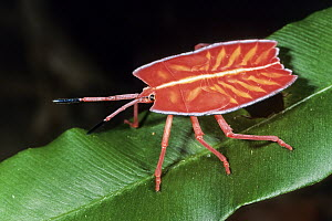 Red Stink Bug (Pycanum rubeus) also known as a Shield Bug, Sabah, Borneo, Malaysia  -  Konrad Wothe