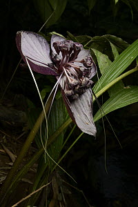 Bornean Bat Flower (Tacca borneensis) flowers, which generate their own heat to aid in pollination, Kasai, Batang Ai National Park, Malaysia - Chien Lee