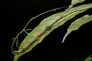Stick Insect (Phasmatidae) pair mating, Gunung Penrissen, Borneo, Malaysia  -  Chien Lee