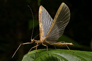 Stick Insect (Diapheromeridae) taking flight, Gunung Penrissen, Borneo, Malaysia  -  Chien Lee