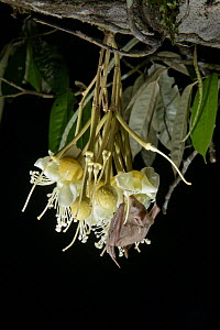 Lesser Long-tongued Fruit Bat (Macroglossus minimus) feeding on Durian (Durio zibethinus) flower nectar at night, Danum Valley Field Center, Sabah, Borneo, Malaysia  -  Chien Lee