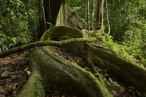 White Lauan (Parashorea malaanonan) buttress roots, Danum Valley Field Center, Sabah, Borneo, Malaysia  -  Chien Lee