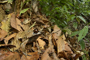 Asian Horned Frog (Megophrys nasuta) camouflaged in leaf litter, Danum Valley Field Center, Sabah, Borneo, Malaysia  -  Chien Lee
