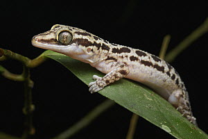 Grooved Bent-toed Gecko (Cyrtodactylus pubisulcus), Malaysia - Chien Lee
