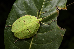 Katydid (Despoena spinosa) male, Malaysia  -  Chien Lee