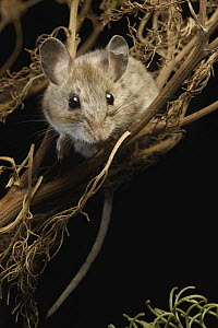 Deer Mouse (Peromyscus maniculatus) in Giant Coreopsis (Coreopsis gigantea), California - Chien Lee