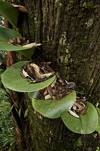 Rainforest Orchid (Bulbophyllum beccarii) leaves with caught leaf litter, Malaysia  -  Chien Lee