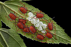 Red Stink Bug (Pycanum rubeus) hatchlings cluster to amplify the effect of their aposematic warning coloration, Malaysia - Chien Lee