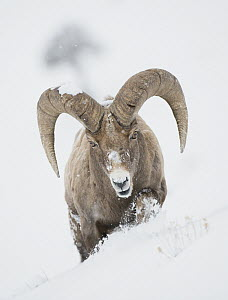 Bighorn Sheep (Ovis canadensis) ram in snow, Yellowstone National Park, Wyoming  -  Sean Crane