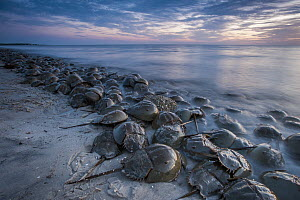 Horseshoe Crab (Limulus polyphemus) group spawning at high tide at sunset, Cape May, New Jersey  -  Sean Crane