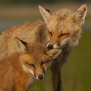 Red Fox (Vulpes vulpes) mother cleaning pup's ear, Bombay Hook National Wildlife Refuge, Delaware  -  Sean Crane