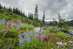 Broadleaf Lupin (Lupinus latifolius) and Mountain Indian Paintbrush (Castilleja parviflora) flowers in meadow, Mount Rainier National Park, Washington  -  Sean Crane