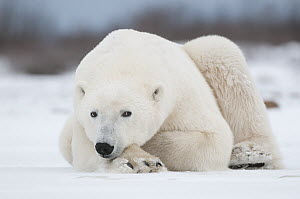 Polar Bear (Ursus maritimus) on ice, Seal River, Manitoba, Canada - Sean Crane