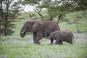 African Elephant (Loxodonta africana) mother and calf grazing, Lewa Wildlife Conservancy, Kenya - Sean Crane