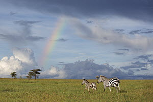 Zebra (Equus quagga) mother and foal near rainbow, Ol Pejeta Conservancy, Laikipia, Kenya - Sean Crane