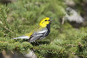 Black-throated Green Warbler (Setophaga virens)in conifer calling, Maine  -  Scott Leslie