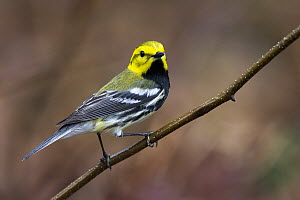 Black-throated Green Warbler (Setophaga virens), Maine  -  Scott Leslie