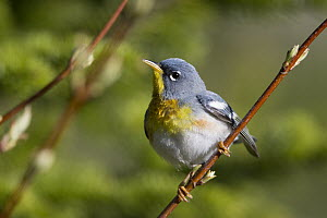 Northern Parula (Setophaga americana), Maine  -  Scott Leslie