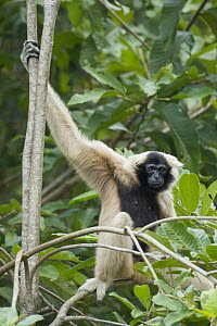 Pileated Gibbon (Hylobates pileatus) in tree, Siem Reap, Cambodia  -  Roland Seitre