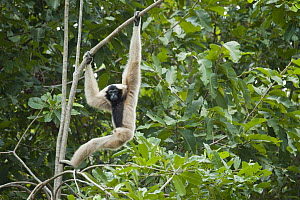 Pileated Gibbon (Hylobates pileatus) hanging in tree, Siem Reap, Cambodia  -  Roland Seitre
