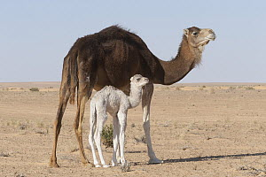 Dromedary (Camelus dromedarius) mother and calf in desert, Sahara Desert, Jebil National Park, Tunisia - Roland Seitre